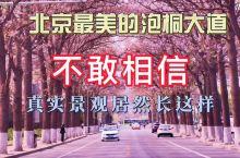 北京最美的泡桐大道