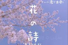 是今年樱花三月的扬州鉴真樱花大道