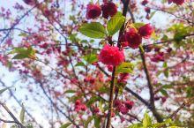 八重樱花VS粉山樱花