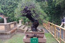 苏州景观树~