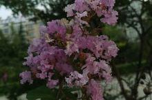 晨跑随拍—紫薇和木槿