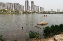 固安,永定河畔孔雀城中的大湖公园,环境优美,湖中岸边均可见到天鹅,野鸭,鸳鸯自由自在地觅食或休息。游