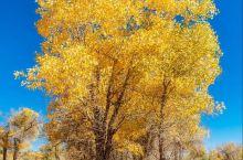 金秋十月 额济纳胡杨林,中国最美的秋天