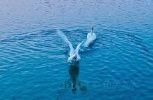 东台西溪迎来一对越冬大天鹅