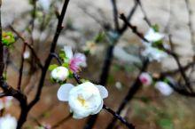 暗香浮动,踏雪寻梅,寄心小院古道上的梅花已盛开,一路梅花一路诗
