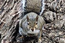 每次去金门公园,都会和这里的小松鼠打个招呼。