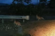 寻找袋鼠,夜晚还是比较容易发现的