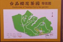 漳平永福台品樱花茶园~漂亮!漂亮!漂亮!实在是太漂亮了!太值得一看啊,园区规模很大,花在茶中,漫步在