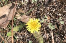 又到看黄花的季节