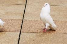 大佛脚下的鸽子