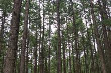驼梁松树林