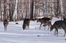 白雪皑皑鹿奔跑 圣诞节是真的要来了