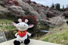 日本爱知新玩法——秋季来四季樱和香岚溪
