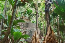 屁股椰子——世界上长相最令人脸红的奇特植物  我发四这一定是世界上长相最令人脸红的奇特植物——来自塞