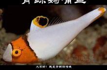 青鲸鹦嘴鱼