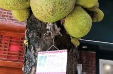 树干上的菠萝蜜