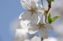 北京玉渊潭|一起来看樱花雨繁盛落下
