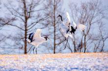 北海道的鹤居村是日本有名的丹顶鹤栖息地