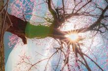 想念一棵树
