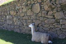 马丘比丘古城里的驼羊