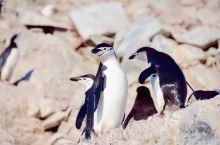 颊带企鹅喜欢生活在岩石峭壁上,站成一排排的,和燕鸥、海鸟一起,共同的生活。幼企鹅正在脱毛,样子虽然不