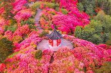 十里花海杜鹃红,湖北麻城龟山的初春盛宴