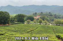 雁南飞茶园  超美 适合旅拍品茶