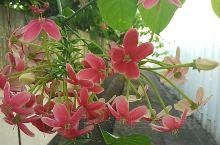黄姚古镇端午节是使君子盛开的季节