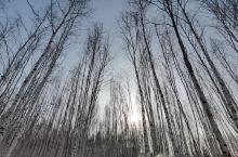 路边白桦林