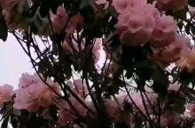井冈山最高峰江西垇万亩千年杜鹃林云绵杜鹃花