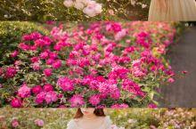 深圳|不用去香蜜公园,也能拥有法式玫瑰花