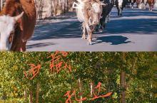 【牛年真牛】西藏扎达深处的生机