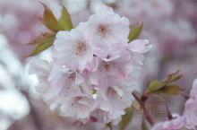 瑞士赏花|日内瓦老城赏樱花