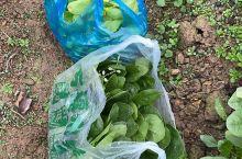 自己种的有机蔬菜