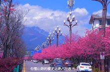 三月我在丽江等你来看樱花