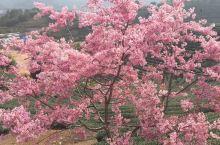 浪漫樱花万亩茶园