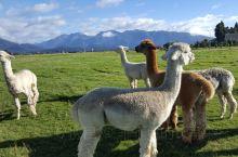 新西兰南岛,草原上有很多羊驼,可以给它们喂食