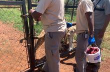 南非约翰内斯堡之行 - 非洲草原撸大猫,现在回想起来心里面还是有点点后怕的哦。  Walking w