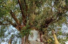 云南·德宏·芒市·树包塔