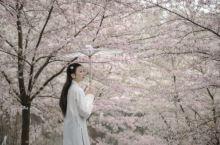 你与日本的距离,只差一场樱花雨!