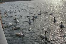库尔勒的天鹅,塔里木河的胡杨,且末的和田玉!我的家乡美和富饶!