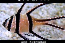 EP.110 考氏鳍竺鲷