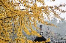 李世民栽的银杏树,美了1400多年!