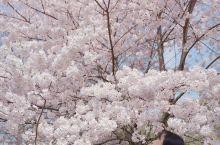四月吟花  By 狐狐  叠影逊河樱,轻暖含露初。 蕊粉染轻纱,悠鸣颂芳生。