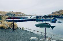 新西兰南岛自驾之高山三文鱼养殖场