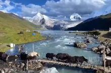 青藏高原特有的、藏牦牛、雪山、草地、太美了