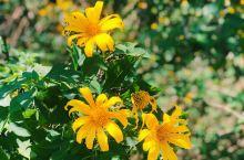 越南国家波围国家公园看野生向日葵