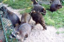 忙碌的小浣熊一家子