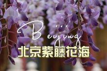 紫色花瀑孔庙和国子监博物馆的紫藤花海