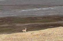 三江源自然保护区偶遇野生藏羚羊